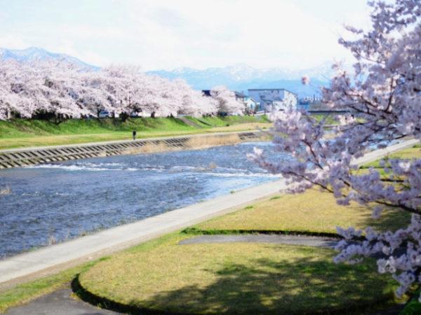 小矢部川 千本桜